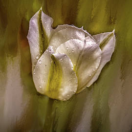 White Tulip After Rain #i7 by Leif Sohlman