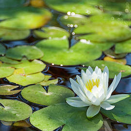 White Water Lily In Pond by Brian Harig