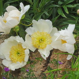 White Yellow Peony Surprise by Paul - Phyllis Stuart