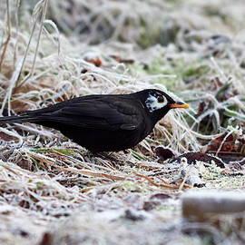 Jouko Lehto - Whitecheek. Common blackbird