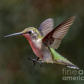 Whoa - Ruby-throated Hummingbird by Cindy Treger