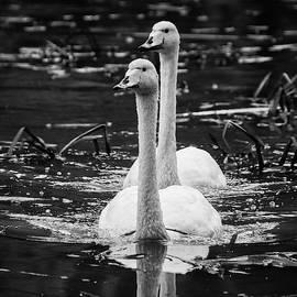 Jouko Lehto - Whooper Swan on Black Waters