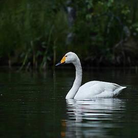 Whooper swan waterleaks by Jouko Lehto
