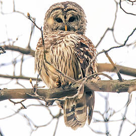 Wild Barred Owl by Dan Sproul