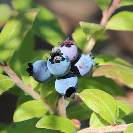 Wild Blueberries by Marlin and Laura Hum