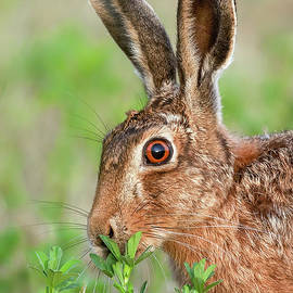 Wild brown hare close up eating by Simon Bratt Photography LRPS
