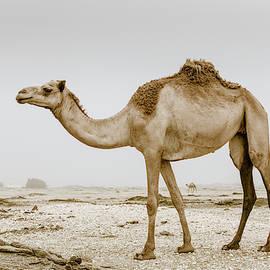 Wild camel in Oman by Alexey Stiop