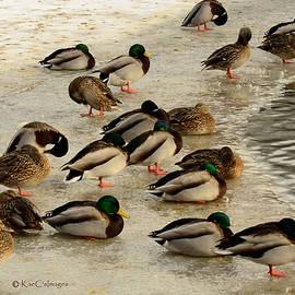 Kae Cheatham - Wild Ducks Resting on Ice