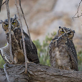Wild Great Horned Owls by Sue Cullumber
