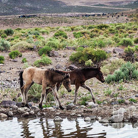 Wild Horse Foals by Webb Canepa