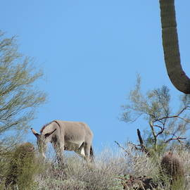 Wild Mule and Saguaro by Bill Tomsa
