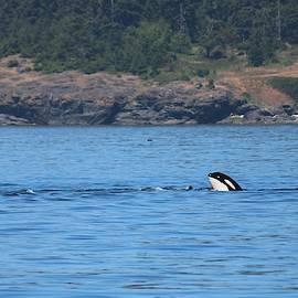 Wild Orca - 4  by Christy Pooschke