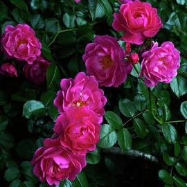 Wild Rose Bush by Denise Harty