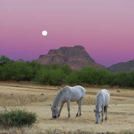 Wild White Horses at Sunrise by Barbara Sophia Travels