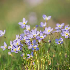 Wildflowers Thyme Leaf Bluets by Rima Biswas