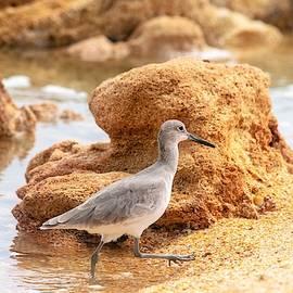 Willet in Coquina by Mary Ann Artz