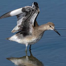 Willet Wing-Stretch by Bruce Frye