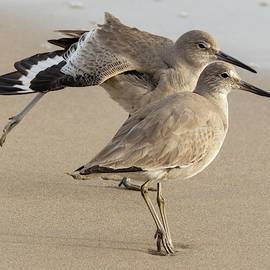 Willets with a Stretch by Bruce Frye