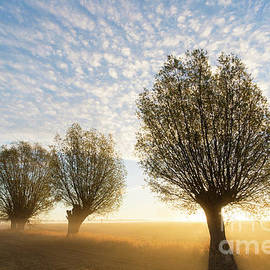 Willows At Sunrise by Arterra Picture Library