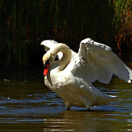 Wing Stretch - Mute Swan by Dianne Cowen