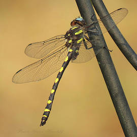 Winged Beauty - Dragonfly on Iron Post - Flying Insects - Wildlife Photography by Brooks Garten Hauschild