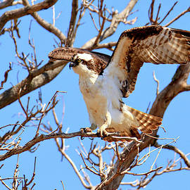 Wings of an osprey  by Geraldine Scull