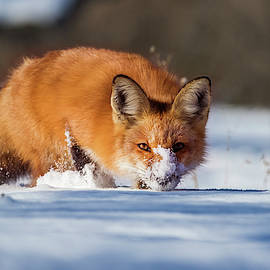 Mircea Costina Photography - Winter Fox