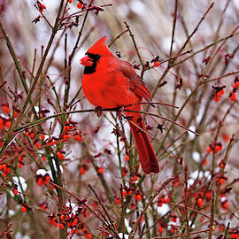 Debbie Oppermann - Winter Red