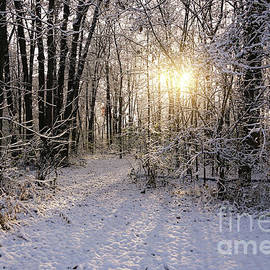 Winter Woods Sunlight by Rachel Cohen