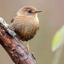 Mike Timmons - Winter Wren