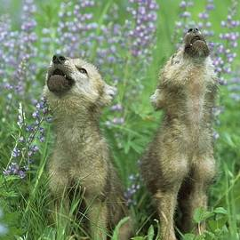 Wolf Puppies Howling In Meadow by Design Pics / David Ponton