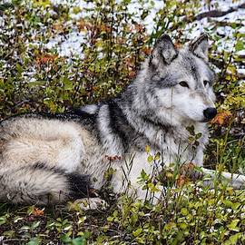 Wolfdog at Rest by Dana Hardy