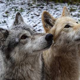Wolfdog Brothers by Dana Hardy