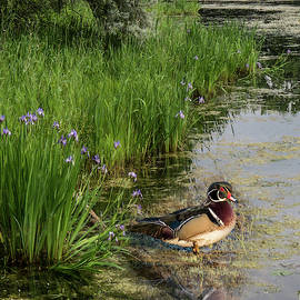 Wood Duck and Iris by Patti Deters