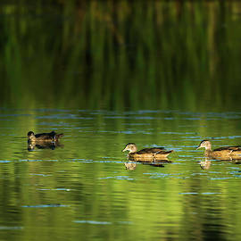 Wood Duck Evening Swim by Edward Peterson