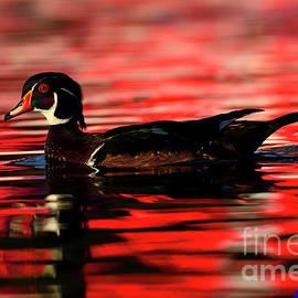 Wood Duck Glide by John F Tsumas
