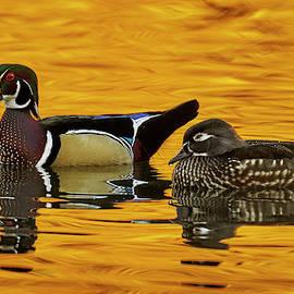 Wood Duck Pair by David Sams