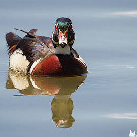 Wood Duck Reflection by David Cutts