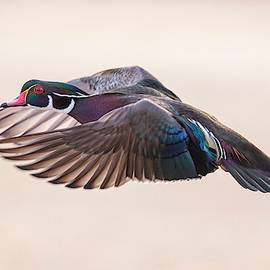 Wood Duck Wing Action 2 by Lynn Hopwood