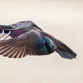 Lynn Hopwood - Wood duck wing action