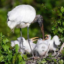 Wood Stork Tending the Nest by Jerry Fornarotto