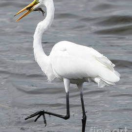 Debbie Morris - Worth the Wait For This Great White Egret