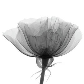 X-ray Of Rose Of Sharon Hibiscus by Nicholas Veasey