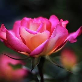 Rose Radiance by Jessica Jenney