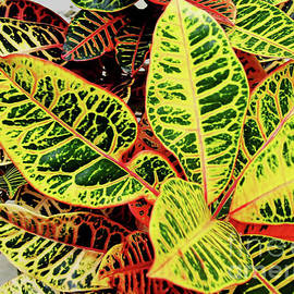 Yellow And Green Croton by D Hackett