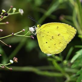 Yellow beauty by Vishwanath Bhat