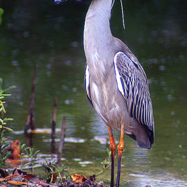 Yellow Crowned Night Heron at Attention by Jerry Griffin