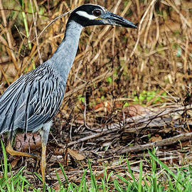 Yellow-Crowned Night-Heron by Jo Ann Gregg