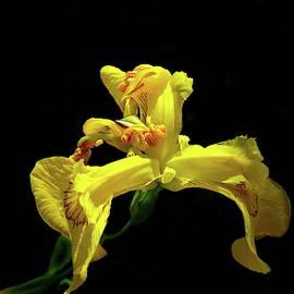 Yellow Flag Iris by Lyuba Filatova