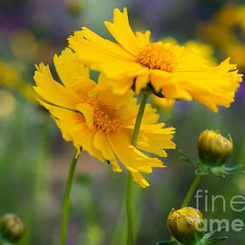 Yellow Flowers by Lisa Manifold